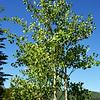 Beautiful Aspen Trees in Beaver Creek Colorado