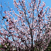 Blooming Cherry Tree at Huntington Beach Library in California
