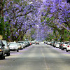 Santa Ana Street With Purple Flower Trees