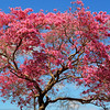 Flowering Cherry Blossom Tree in Costa Mesa CA