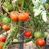 Tomatoes on the Vine in Costa Mesa CA