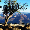 Unusual Trees at the Grand  Canyon in Arizona