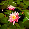 Water Lillies at San Juan Capistrano Mission in California