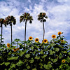 Palm Trees and Sunflowers at the Orange County Fair in Costa Mesa CA