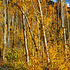 Aspen Trees on Independence Pass in Colorado