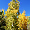Blue Sky and Tall Trees is What You See in Vail CO