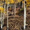 Aspen Trees Near Breckenridge CO 25