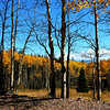 More Aspen Trees in Colorado