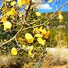 Aspen Trees in Colorado 250
