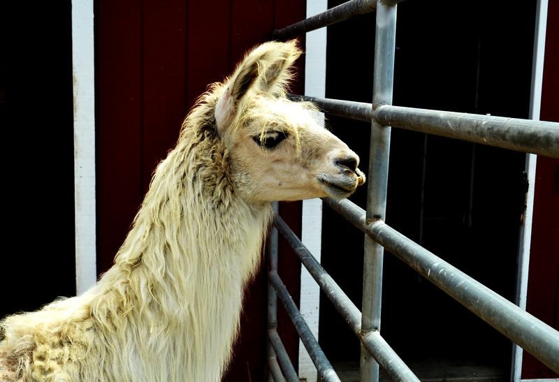 Alpaca at the Orange County Fair in Costa Mesa CA