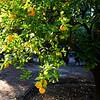 Orange Tree in Orange County California