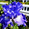 Beautiful Iris in Newport Beach CA