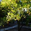 Orange Tree in Orange County California 2