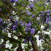 Purple Flower Trees in Santa Ana California