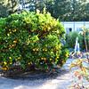 Round Orange Tree Growing in Orange County California