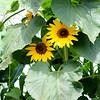 Sunflowers in Costa Mesa CA