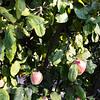 Apple Tree Growing in Orange County California