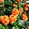 Fall Orange Flowers in Costa Mesa California