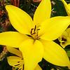 Large Yellow Flower in Costa Mesa California