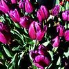 Purple Spring Tulips in Costa Mesa California