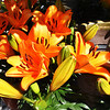 Pretty Fall Lilies on Costa Mesa California
