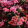 Begonia Bush in Costa Mesa California 2