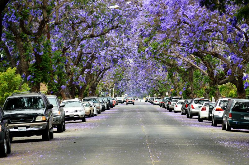 Santa Ana Street With Purple Flower Trees