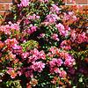 Begonia Bush in Costa Mesa California
