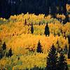 Aspen Trees Grove Near Aspen Colorado
