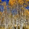 Aspen Trees in Colorado 2