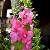 Hollyhocks at the San Juan Capistrano Mission in California