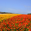 Flower Fields in Carlsbad California 51