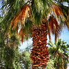 Palml Tree in Palm Springs Needs Trimming